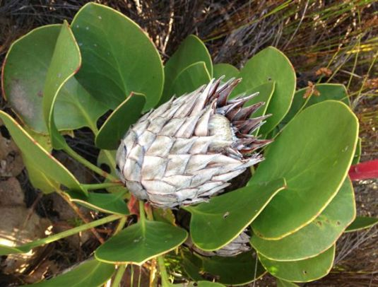 We passed some beautiful proteas along the way.