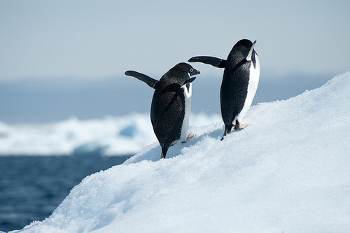 animals-cute-penguin-Favim.com-714346