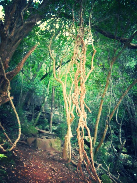 Vines of trees hanging down across our path, twisted with each other as if in some lovers embrace.