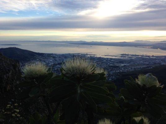 Some proteas looking out over the view of the city below.