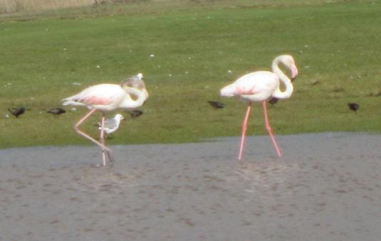 Pink flamingos enjoying all the extra water around.  Photo by my mom.