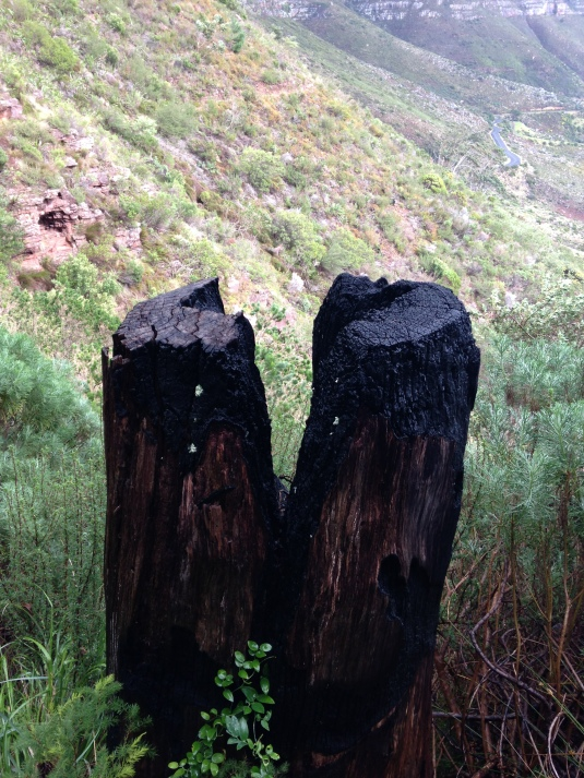 A burnt out tree trunk, remains from the Devils Peak fire that ravaged our mountainside in 2009