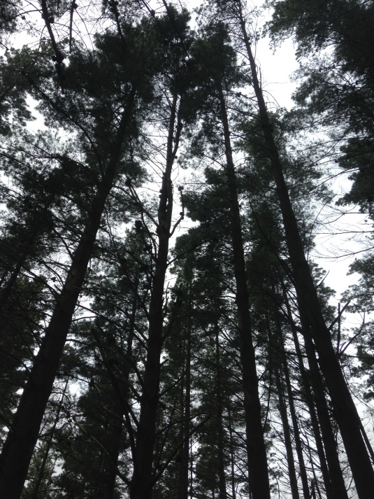 The pine trees stretching high up in to the dark, cloud covered sky.