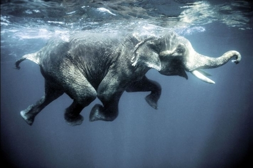 elephant-swimming-underwater-Favim.com-206936