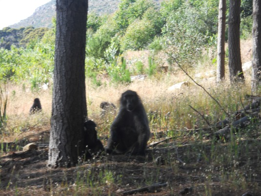 The baboons watching us closely as we made our way through the troop.
