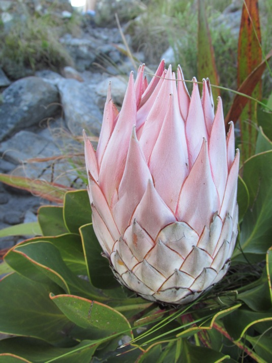 Beautiful proteas are blooming all over the mountain side.