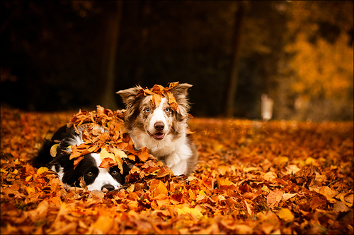 animals-dogs-fall-friends-Favim.com-1503526