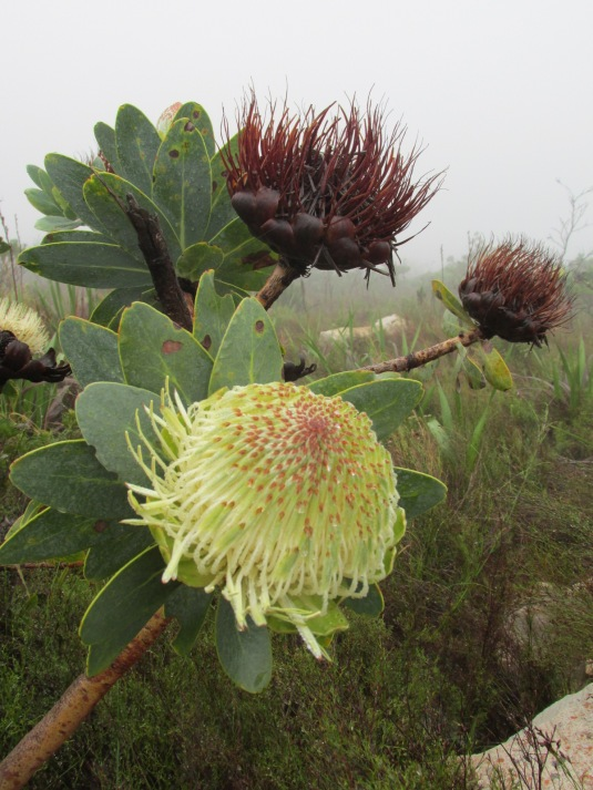 A beautiful protea getting ready to bloom.