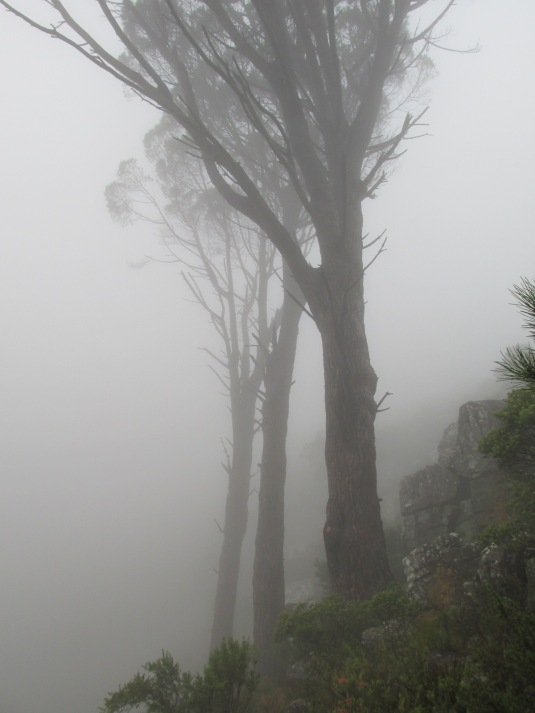 Beautiful, mystical mountain trees draped in mist as we walked.