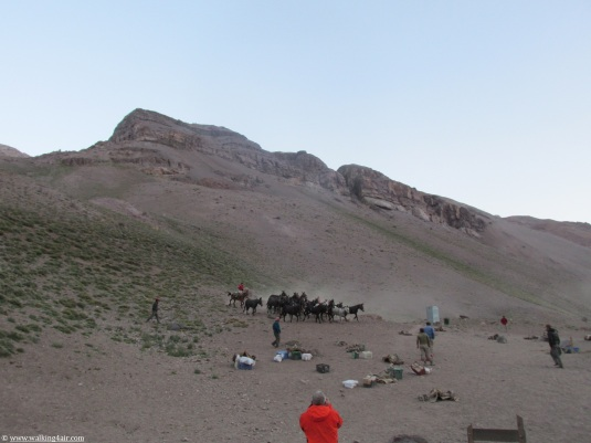 Rounding up the mules after they had wandered off during the night.
