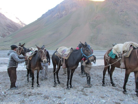 The mules ready to take us across the river.