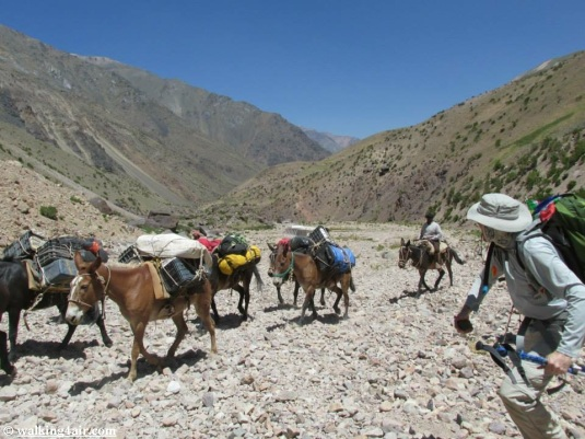 The mules, carrying their loads, making their way to camp.